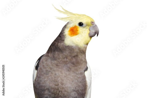 Vászonkép Adult male pretty cockatiel on white background isolated