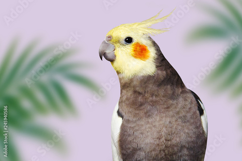Valokuva  Adult male pretty cockatiel on pink background with tropical leaves