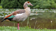 A Beautiful Goose With Green Brown Feathers Stands By The Lake.