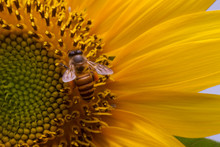 Honey Bee Pollinating A Sunflower, Indonesia
