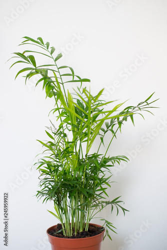 Chamaedorea elegans in a vase Fototapet