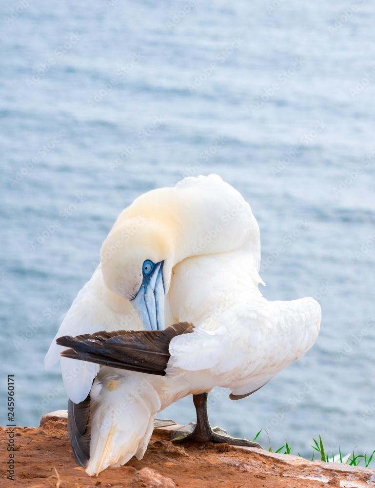 Basstölpel (Morus bassanus oder Sula bassana), Kolonie auf Lummenfelsen der Insel Helgoland, Alttier pflegt sein Gefieder, Nordsee, Schleswig-Holstein, Deutschland, Europa