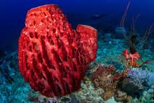 Beautiful, Huge Sponges Deep On A Tropical Coral Reef (Similan Islands, Thailand)
