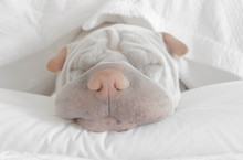 Shar-pei Dog Sleeping On A Bed