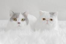 Portrait Of British Shorthair Cats Lying On Blanket