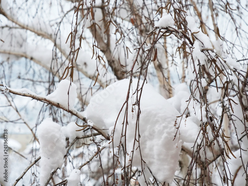 Fresh snow on silver birch tree branches, dried catkins are still on the branches, food for birds