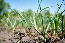 Garlic Field, Copy Space. Gree...