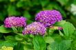 Hydrangea macrophylla - Hortensia flower - Beautiful bush of hydrangea flowers in a garden