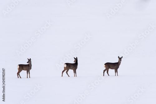 Trzy sarny na śniegu zima dzikie zwierzęta  - fototapety na wymiar