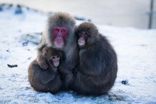 Japanese Macaque Monkey Sitting On Snow Covered Ground, Mother Hugging Her Babies