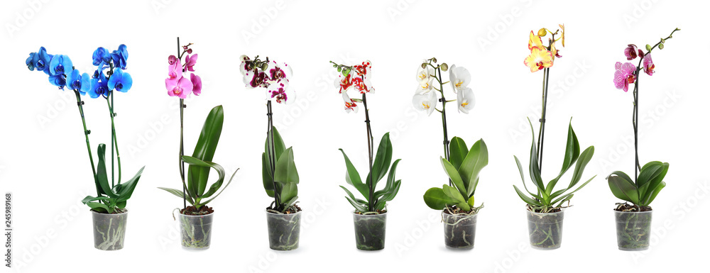 Fototapety, obrazy: Set of beautiful orchid phalaenopsis flowers in pots on white background