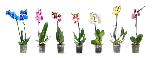 Fototapeta na wymiar Set of beautiful orchid phalaenopsis flowers in pots on white background
