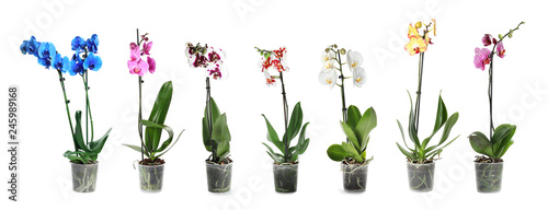 Set of beautiful orchid phalaenopsis flowers in pots on white background