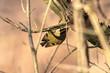 canvas print picture - Wintergoldhähnchen an einem schönen Wintertag