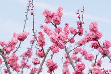 Ume Blossoms, Japanese Apricot