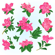 Pink  Flowers Rhododendrons And Leaves  Mountain Shrub On A Blue Background  Vintage Vector Illustration Editable Hand Draw