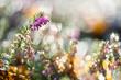 Heidekraut im Winter vor unscharfem Hintergrund