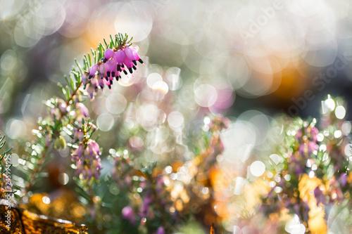 Photo  Heidekraut im Winter vor unscharfem Hintergrund