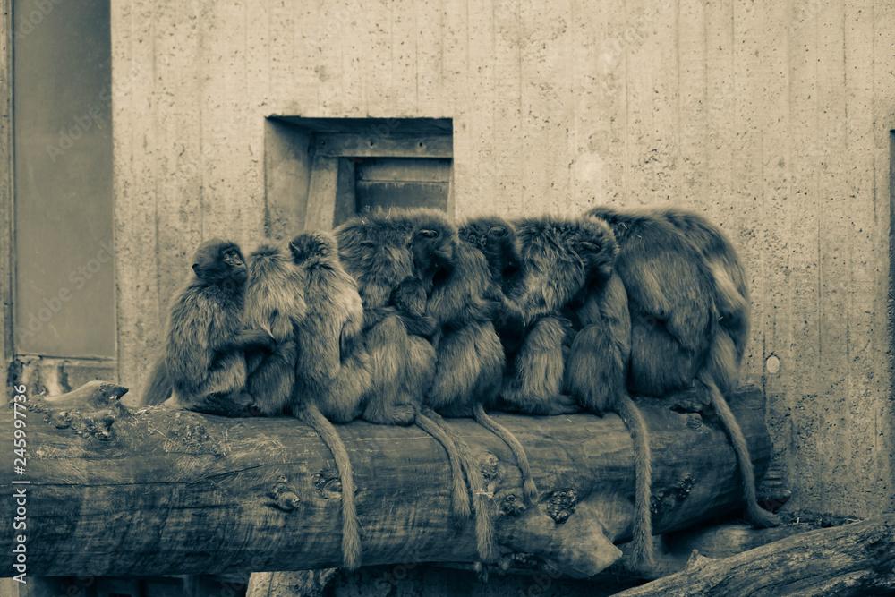 Photo  Monkeys sitting on a trunk in a row