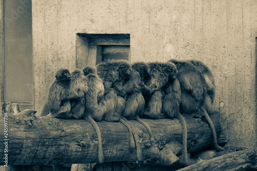 Cuadros en Lienzo Monkeys sitting on a trunk in a row