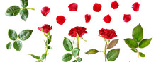 Flowers Composition. Red Roses Isolated On White Background. Wide Photo.