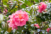 Flower Of A Pink Camellia On A...