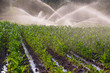 canvas print picture - Irrigation on a young maize crop in South Africa