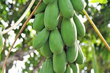 Papaya Growing On A Tree