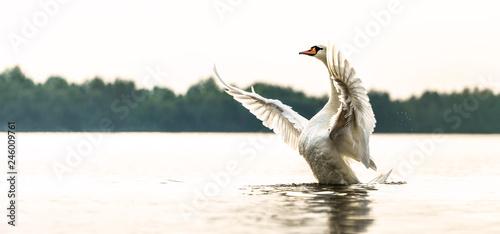 Panorama von einem stolzen Schwan, der seine seine Brust zeigt und seine Flügel ausbreitet