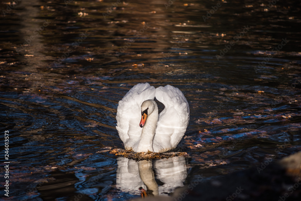 White swan on the lake in the park