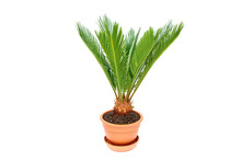Cycas In Flower Pot Isolated On White Background Close Up