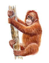 Orangutan. Realistic Red Monkey On Tree Colorful Isolated On White Background. Watercolor. Illustration. Template. Close-up. Clip Art. Hand Drawn. Painting