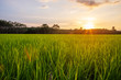 Rice field with sunrise or sunset and sunbeam flare