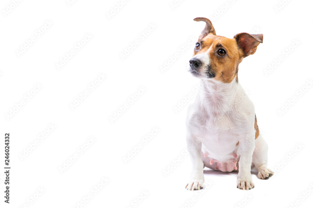 Fototapety, obrazy: Portrait Jack Russell Terrier, standing in front, isolated white background