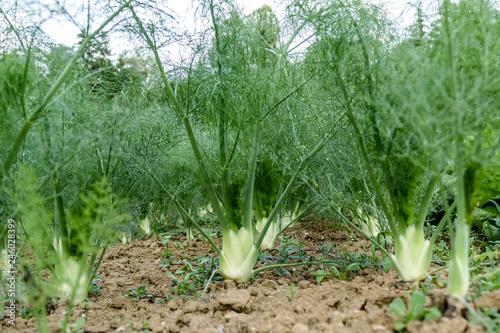Fenchel anbauen im Beet