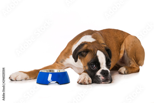 Fotomural Young boxer dog with empty food bowl isolated on white background