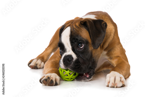 Obraz Young boxer dog with a ball isolated on white background - fototapety do salonu