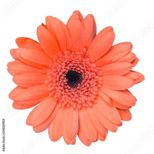 beautiful coral colored gerbera daisy flower isolated on white background closeup