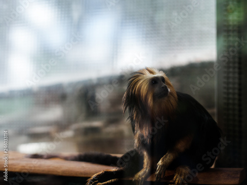 Photo  Leontopithecus chrysomelas monkey