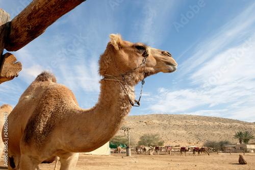 Keuken foto achterwand Kameel Camels in a corral on a camel farm