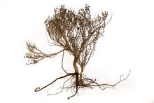 Un Arbuste De Thym Avec Ses Ra...