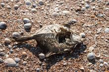 Dead Dry Bottom-dwelling Fish On Seashell Beach By Sea