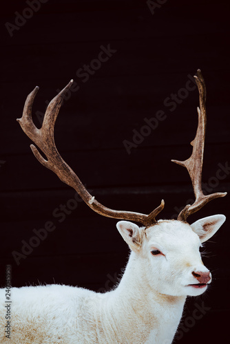 Albino Fallow Deer Stag studio isolated photo Tablou Canvas