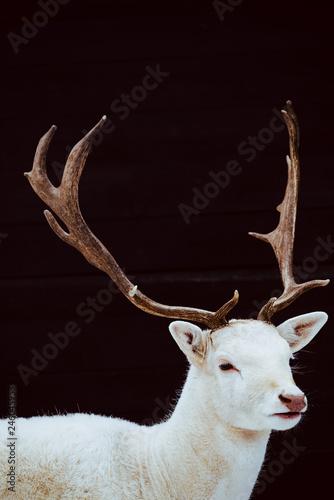Obraz na plátne  Albino Fallow Deer Stag studio isolated photo