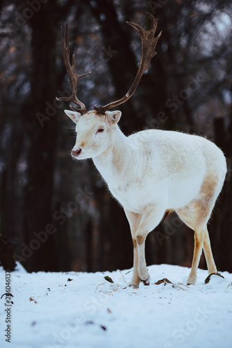 Photo Albino white Fallow Deer Buck Dama Dama in the winter forest
