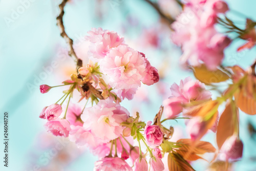 Deurstickers Kersenbloesem Beautiful nature scene with blooming cherry tree in spring