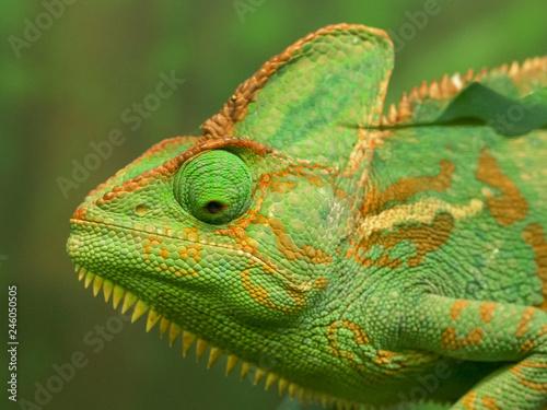 Staande foto Kameleon close up of a green veiled chameleon lizard