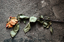 Rose Of Lost Love Trampled On Road