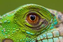 Macro Of A Fantastic Green Iguana Eye