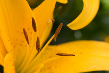 Yellow Day Lily Interior Stame...